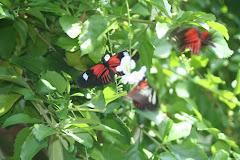Heliconius Amaryllis