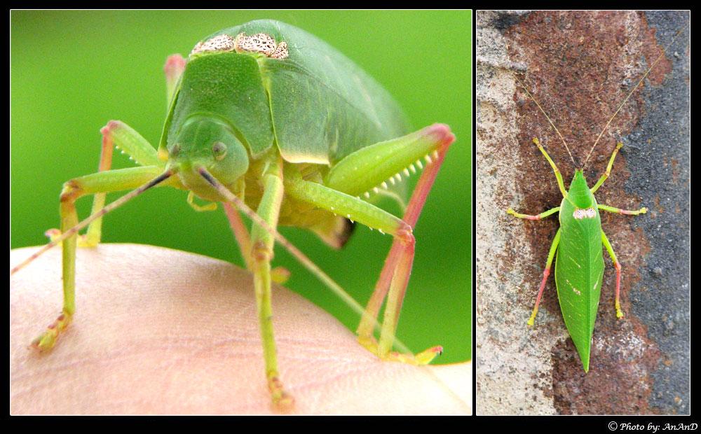 Giant Green Leaf Bug
