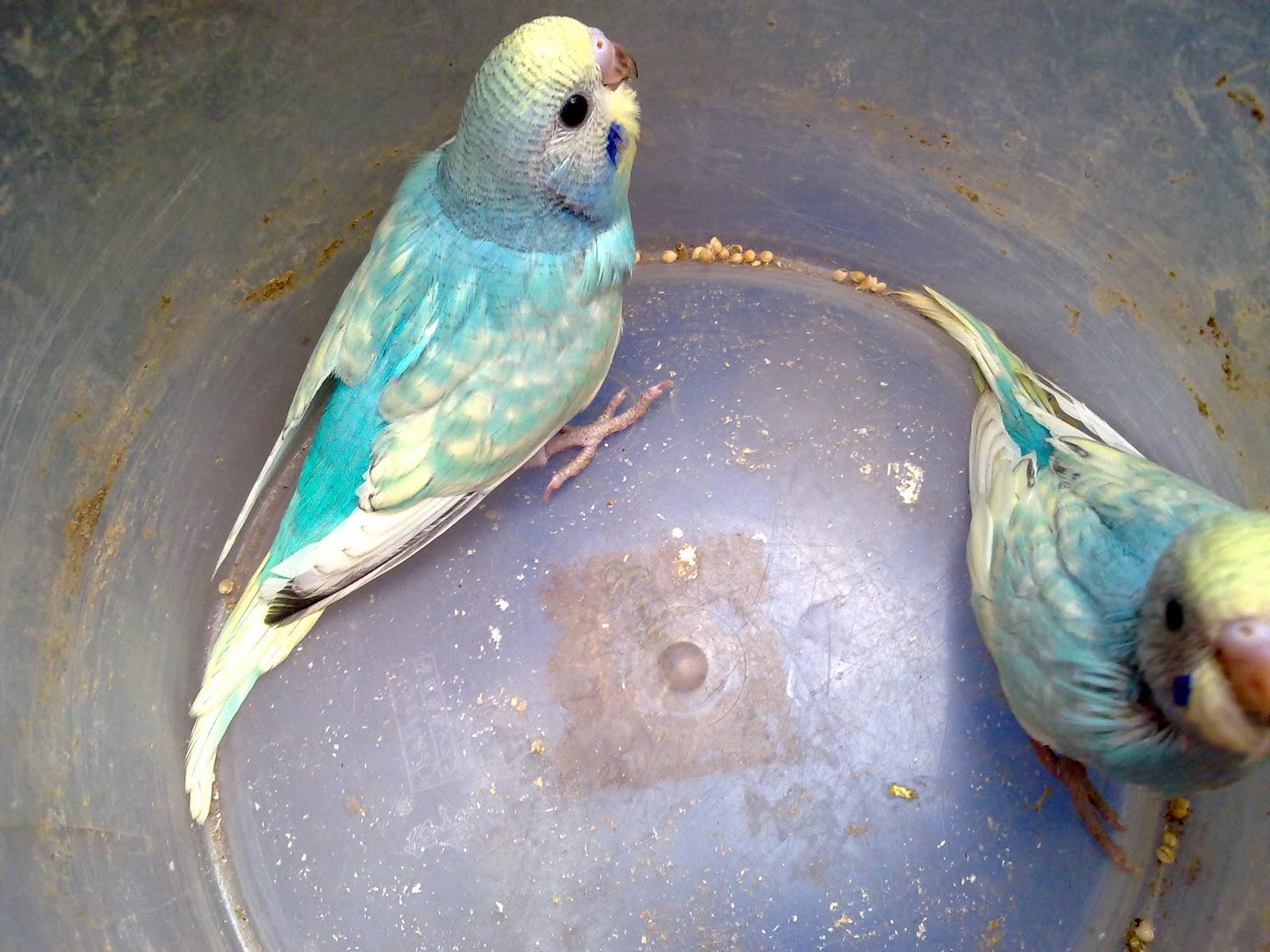 parakeet colors - photo #11