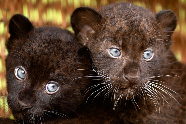 Two 6-week-old black panther cubs are shown off to the media at the Tierpark zoo