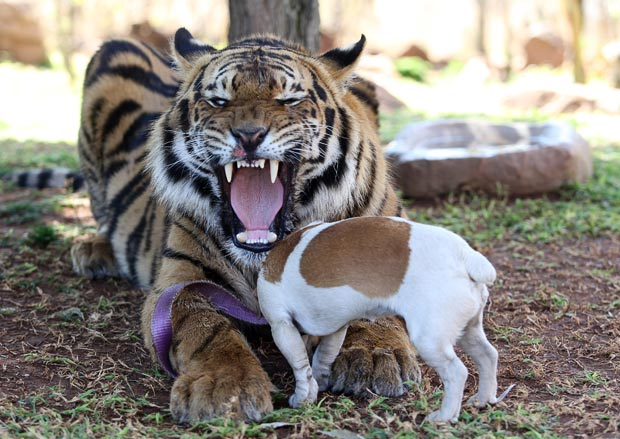 Panjo the Tiger plays with Milo the Jack Russell