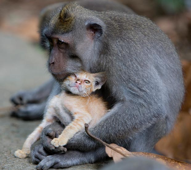 A young long tailed macaque monkey has been spotted nuzzling and grooming a ginger kitten and making sure no harm came to it at the Monkey Forest Park, in the Ubud region of Bali, Indonesia.
