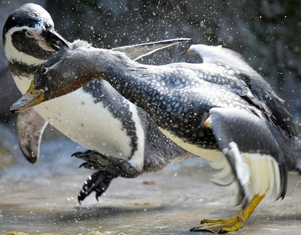 A penguin fights with a duck in their enclosure at the zoo