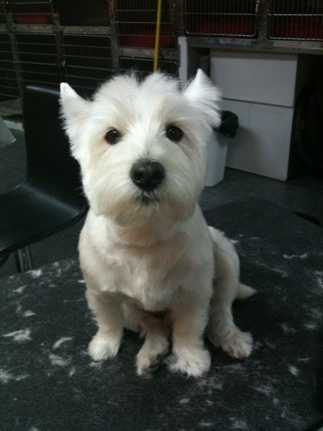 Westie short haircut