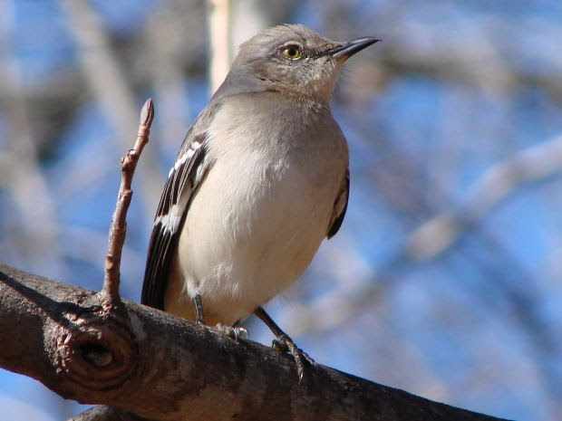 Wild Birds Unlimited: How Not to Kill a Mockingbird Guarding Your Feeders Too Aggressively