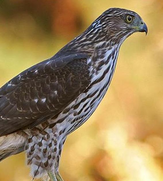 wild birds unlimited how can i get rid of the hawk in my yard