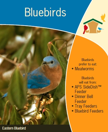 Providing Food For Bluebirds During The Winter And Early Spring May  Increase Their Chances Of Survival In Bad Weather. And If You Want To  Encourage Them To ...