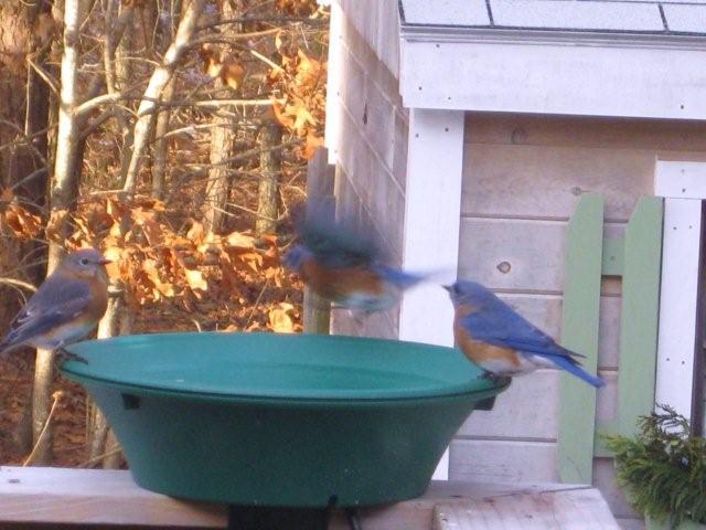 Cómo atraer Bluebirds a su propio patio trasero | Siempre al aire libre