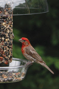 red finch vs purple finch