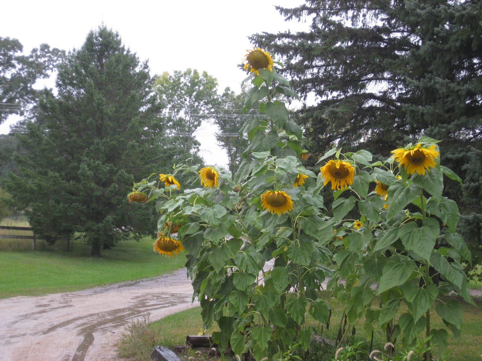 sarah niemela rain sunflowers ears and lunch. Black Bedroom Furniture Sets. Home Design Ideas
