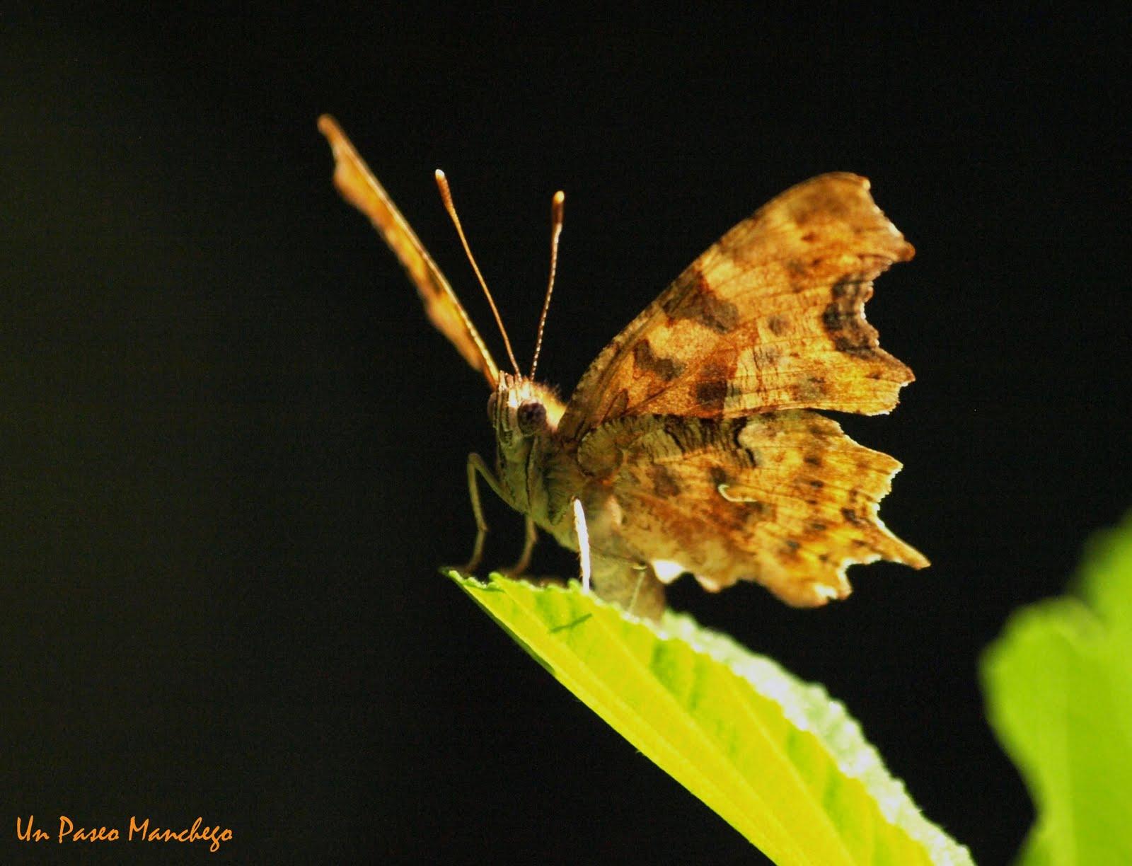 Un Paseo Manchego: La Mariposa C-blanca.