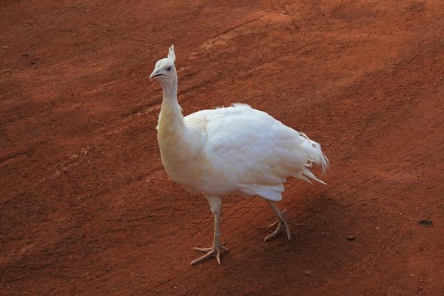 White Peacock Sandfire Roadhouse Western Austraila - © CKoenig
