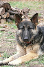 Ransom<br>(the One and Only<br> Mexican-Chinese shepherd!)