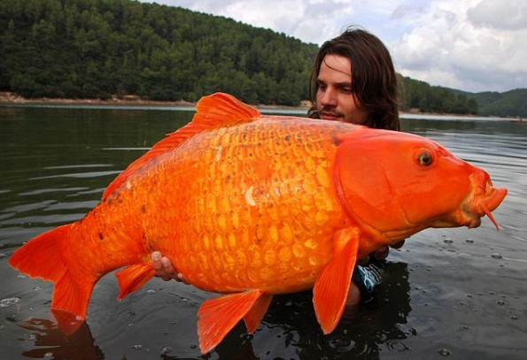 Strange facts guinness world records for Biggest koi fish