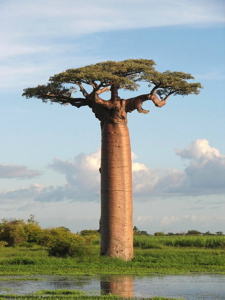 Mydeamedia A Toilet Built Inside A Baobab Tree In The
