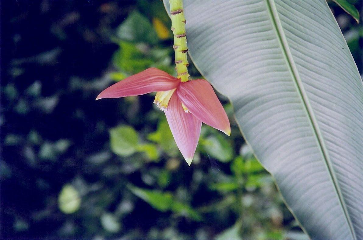 [Banana+flower1]