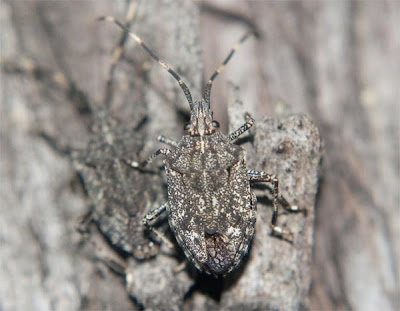 photo of a stink bug close up