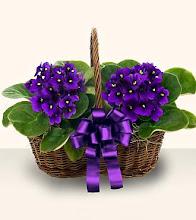 I Love African Violets