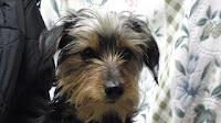 ヨーキー仔犬,ヨークシャーテリア,かわいい子犬,販売