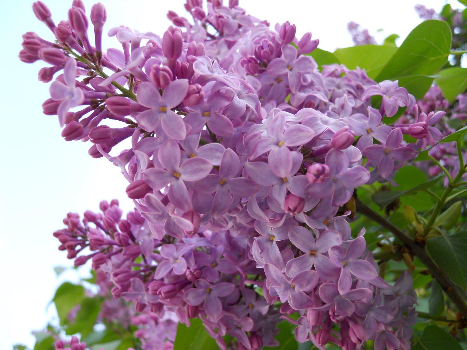 http://4.bp.blogspot.com/_omlEXs98GRA/S8-P0_9z90I/AAAAAAAAAcw/fgG6uRJ7U-I/s1600/Lilacs_3.JPG