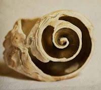 inner spiral of conch