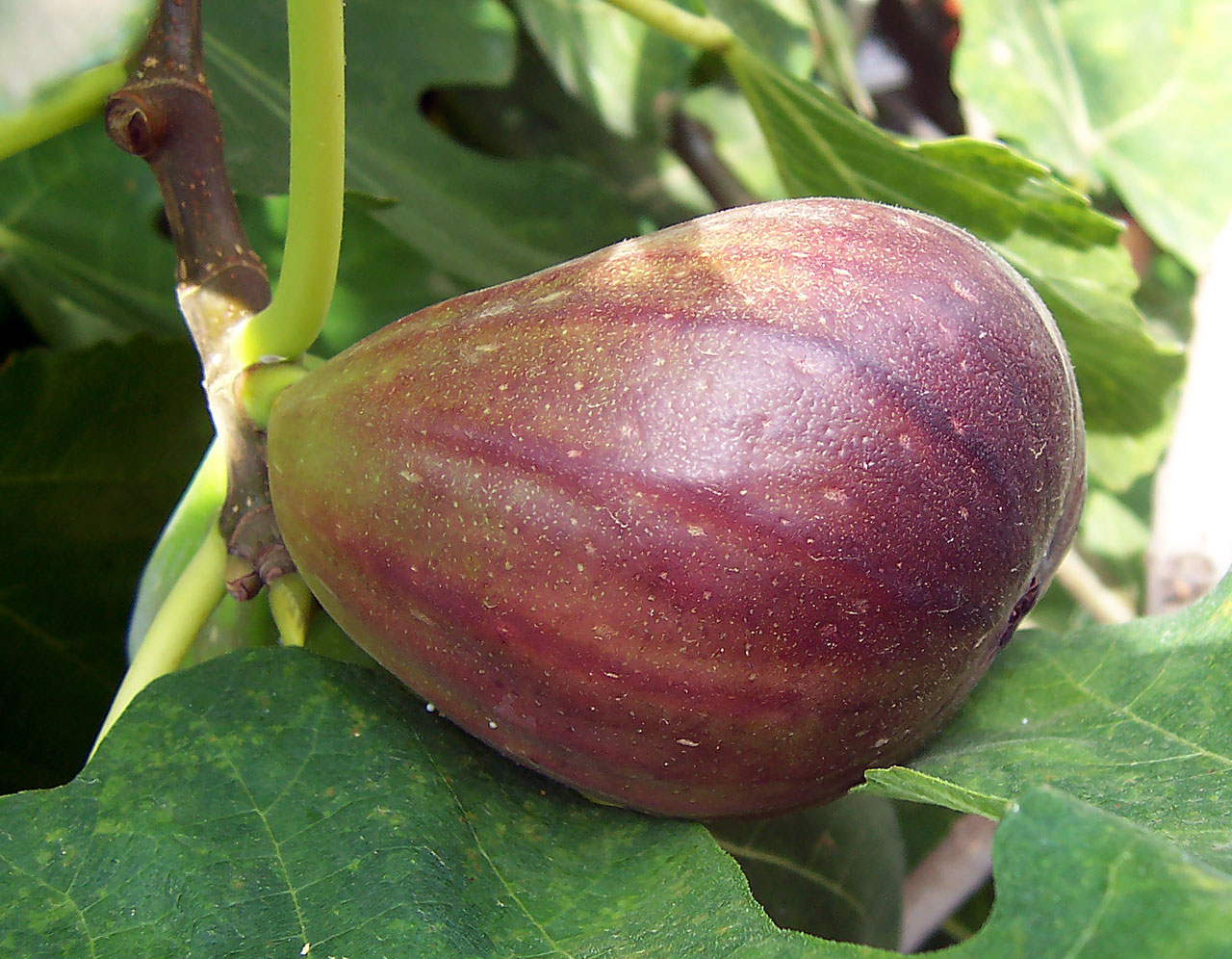 Do fig trees grow fruit before leaves