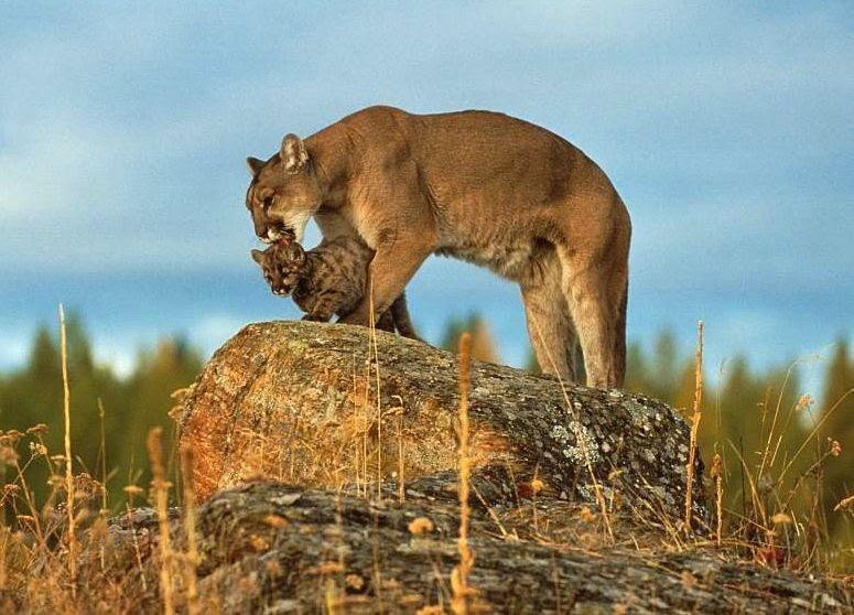 O mundo animal puma sussuarana on a parda le o da - Immagini del cardellino orientale ...