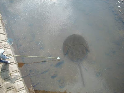 Biggest Stingray