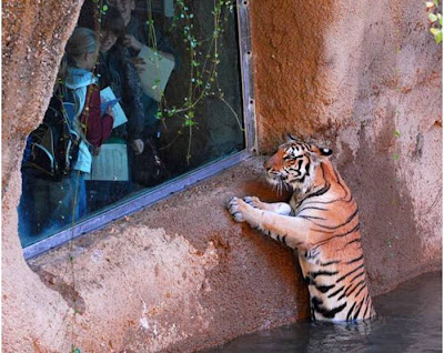Photo Of Wild Cute Tiger In Water