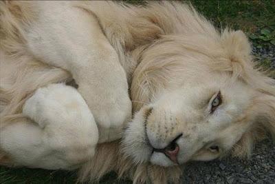 Wild Cute Lion Photos