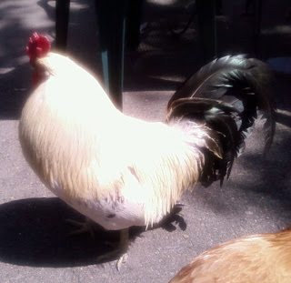 Fair Oaks Rooster