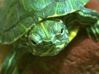 Informasi Tentang Kura-kura Brazil | TEKS di Blogspot