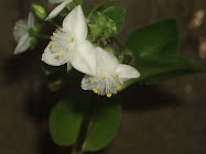Tradescantia en flor
