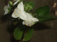 Tradescantia en flor