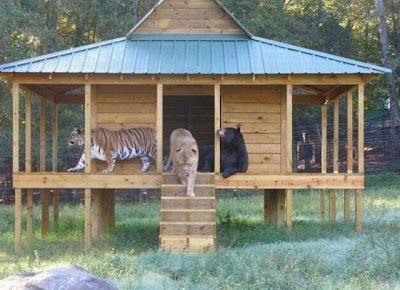 Brothers 09 Foto foto Persaudaraan Antara Beruang, Singa Dan Harimau (Bagaimana Bisa?)