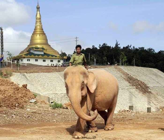 yakiyol blog rare albino elephants