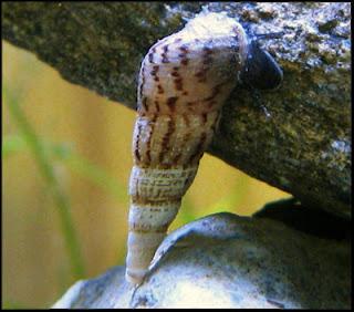 malaysian_trumpet_snail3.jpg