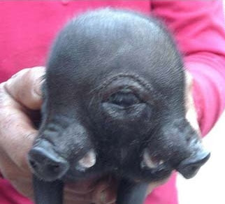 Two-Snouted, Three-Eyed Piglet Born In China