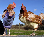 Hens wearing knitted jumpers