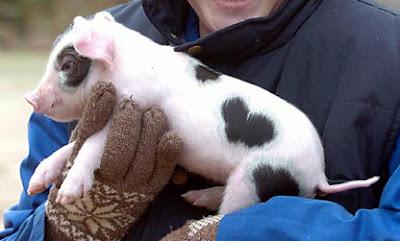 Valentine, the piglet
