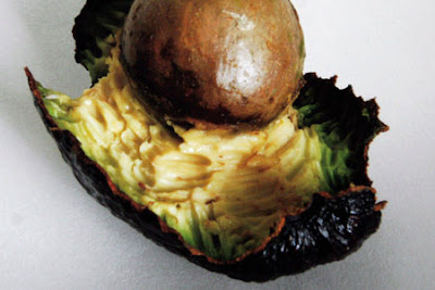 The meticulously nibbled avocado which brought Tony Blair into the spotlight