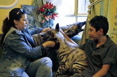 Pet hyenas