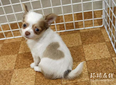 Chihuahua has heart-shaped pattern on coat
