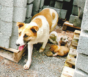 Huahua, a hardworking dog