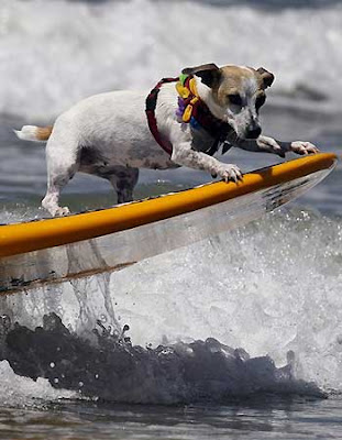 Dogs at a dog-surfing competition