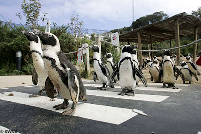 Penguins crossing a zebra crossing