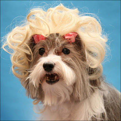 Designer wigs for dogs