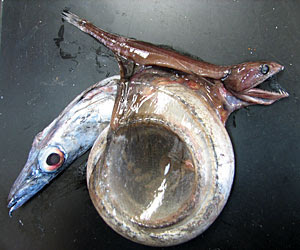 The Snake Mackerel show coiled in the partially opened stomach of the Great Swallower.