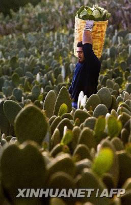 Edibe Cactus