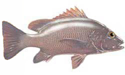 Mangrove jack / Lutijanus argentimaculatus